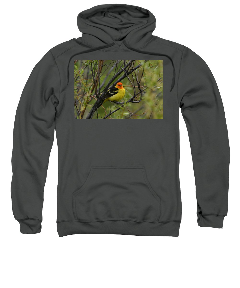 Bird Feathers Western Tanager Wildlife Orange Yellow Black Sweatshirt featuring the photograph Looking At You - Western Tanager by Shari Jardina