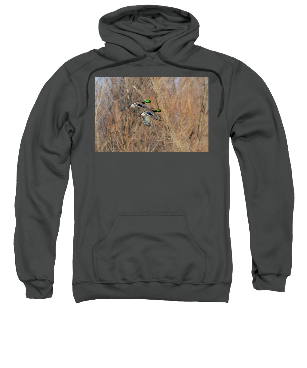 Ducks Sweatshirt featuring the photograph Mallard's In Flight by Kevin Esterline