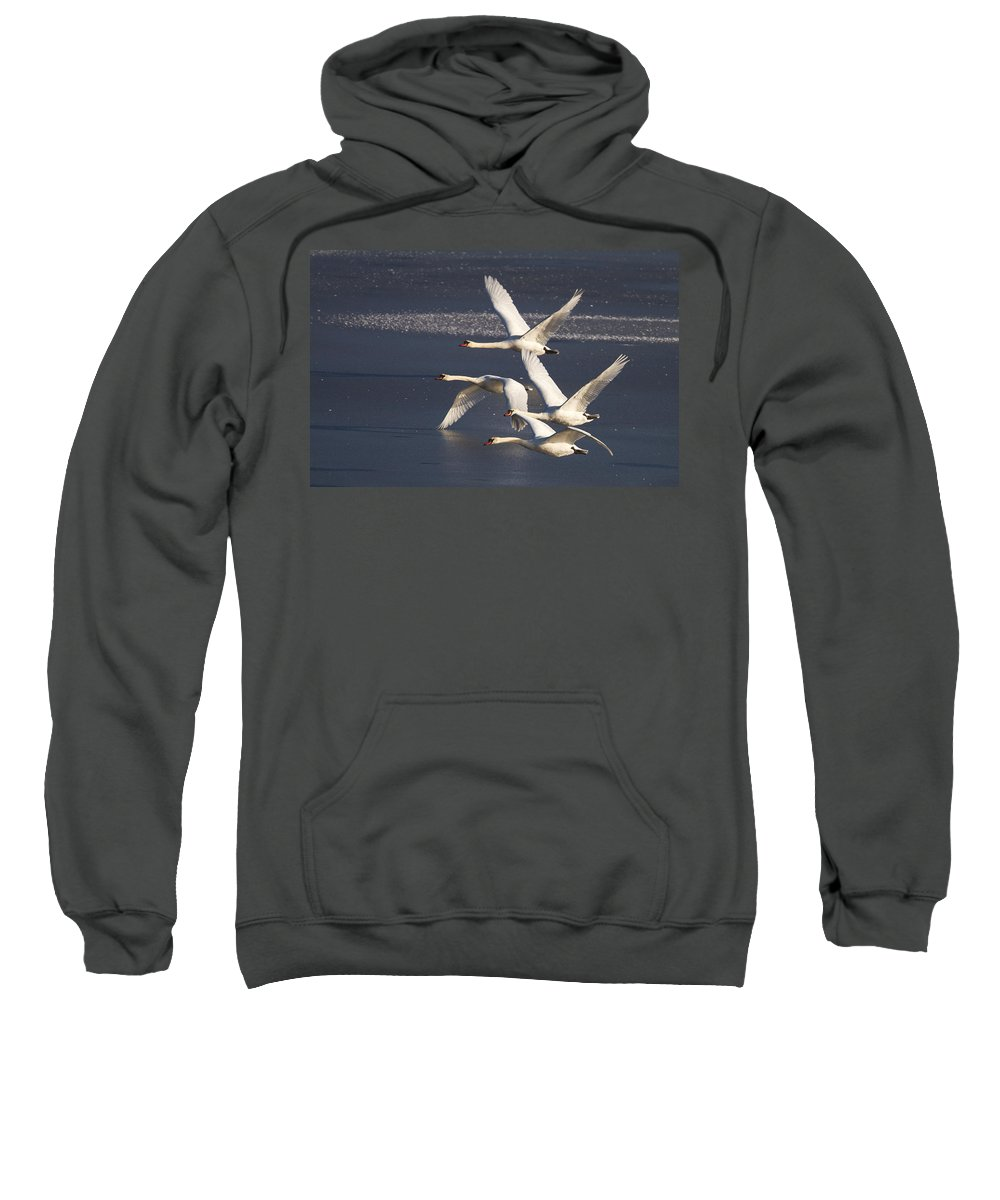Swans Sweatshirt featuring the photograph Mute Swans In Flight by Bob Kemp