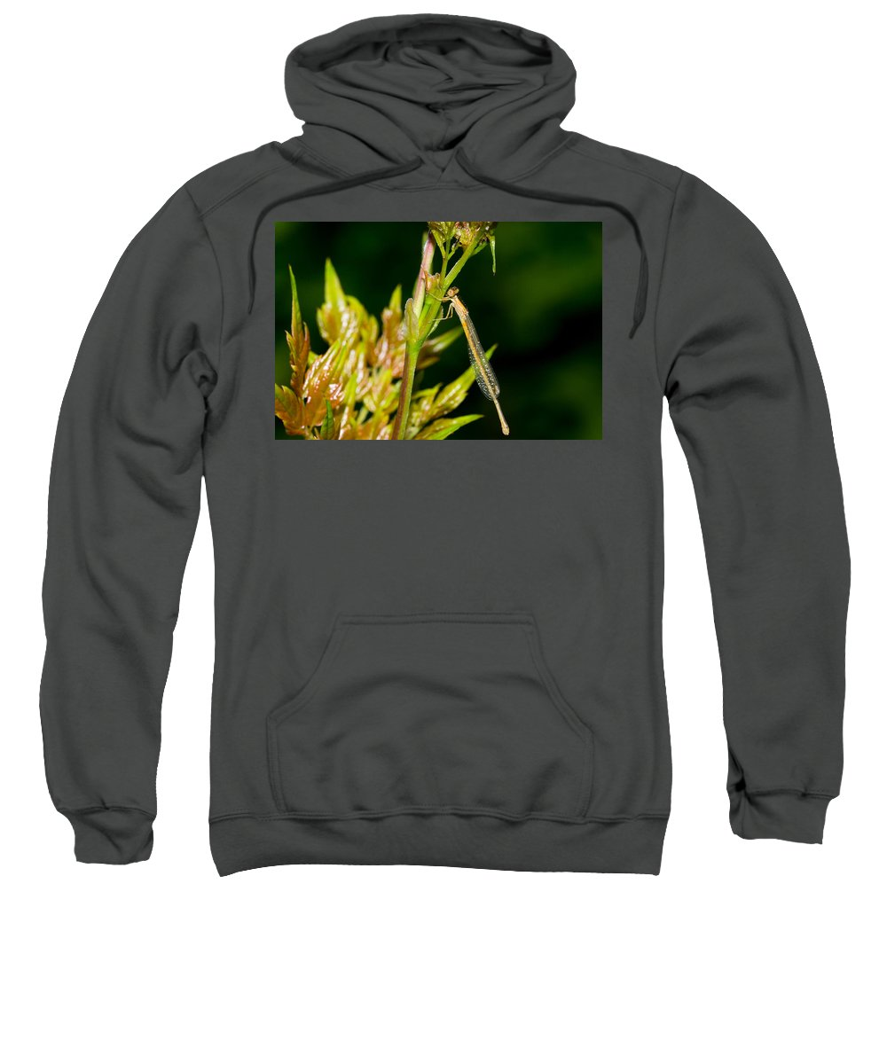 Damselfly Sweatshirt featuring the photograph newly emerged Rambur's forktail by Royal Tyler