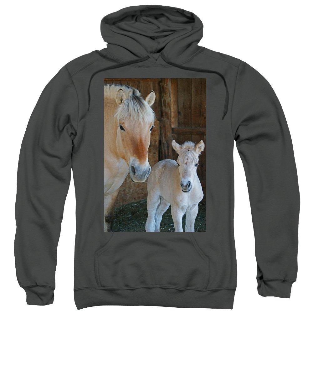 Norwegian Fjord Horse Sweatshirt featuring the photograph Norwegian Fjord Horse And Colt 1 by Ernie Echols