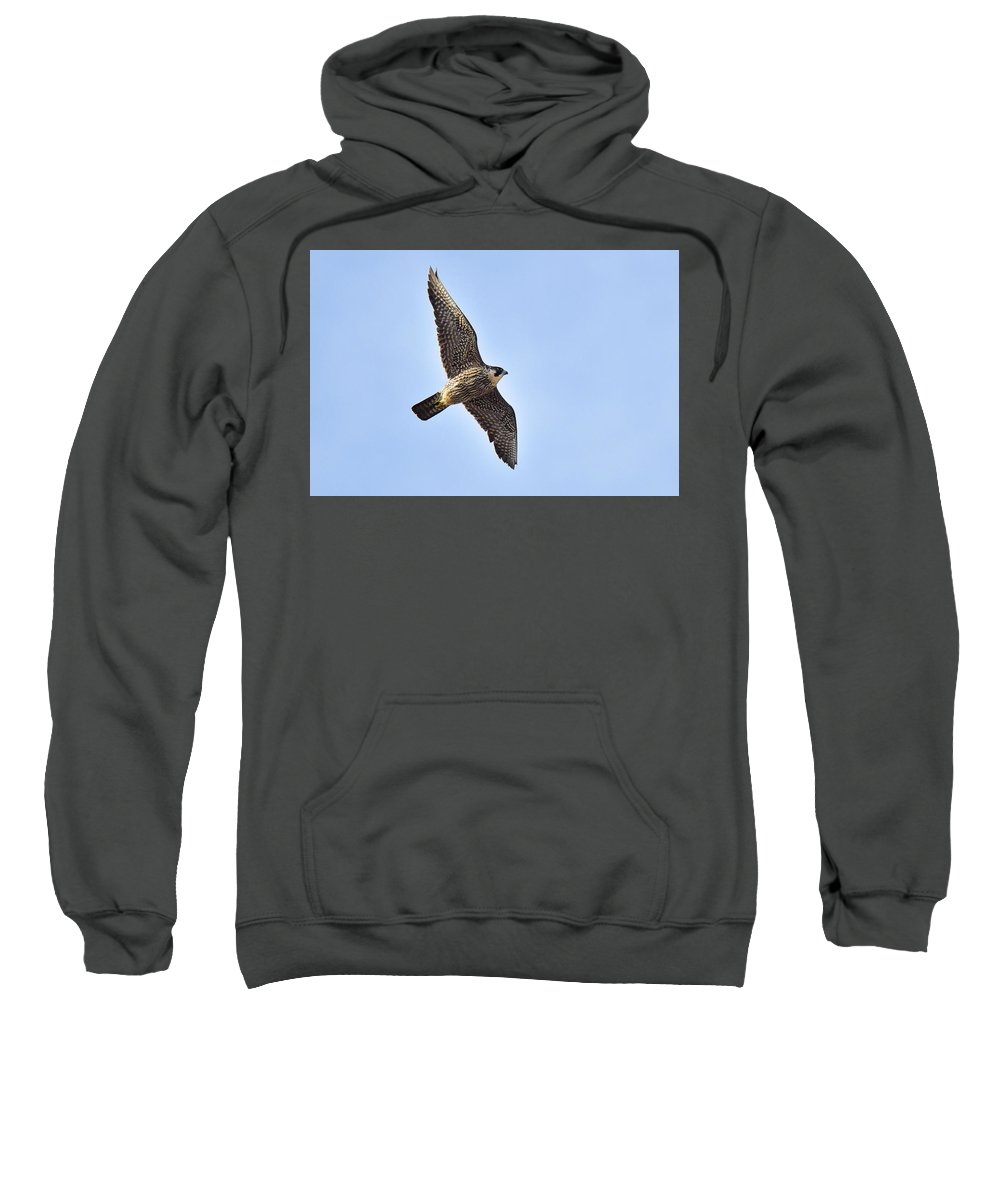 Bird Sweatshirt featuring the photograph Peregrine Falcon In Flight by Alan Lenk