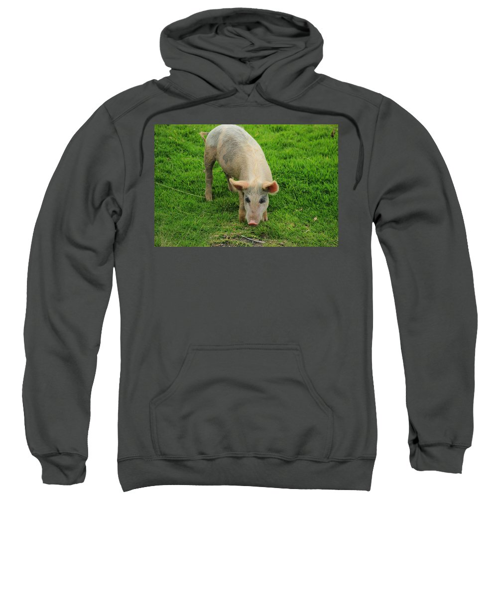 Pig Sweatshirt featuring the photograph Pig Foraging by Robert Hamm