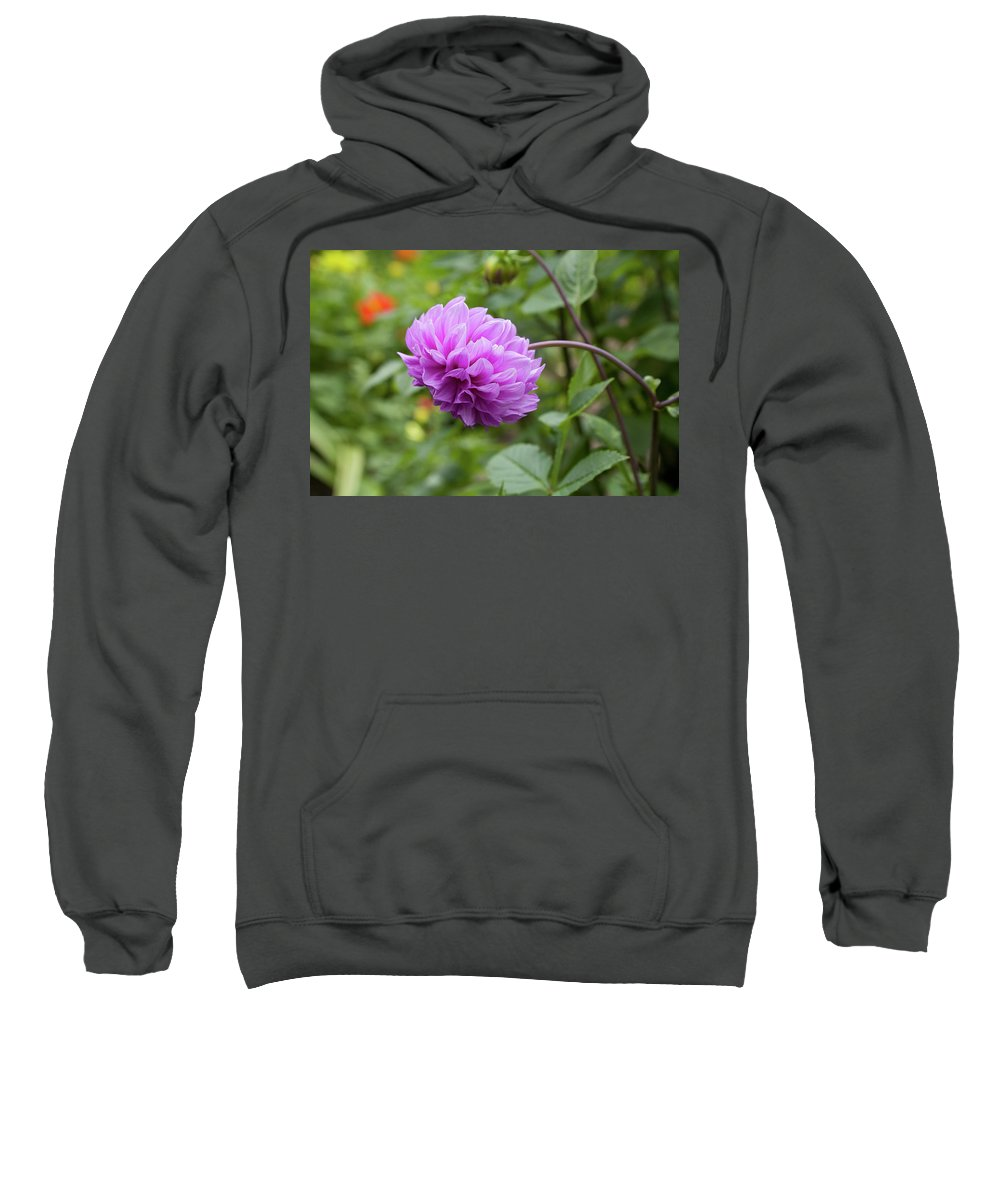 Pink Sweatshirt featuring the photograph Pink Lavender Dahlia by Diane Macdonald
