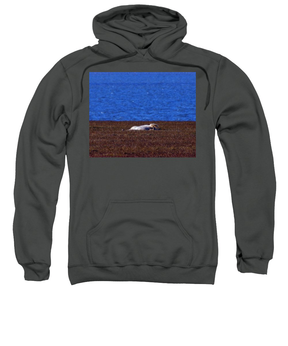 Polar Bear Sweatshirt featuring the photograph Polar Bear Rolling In Tundra Grass by Anthony Jones