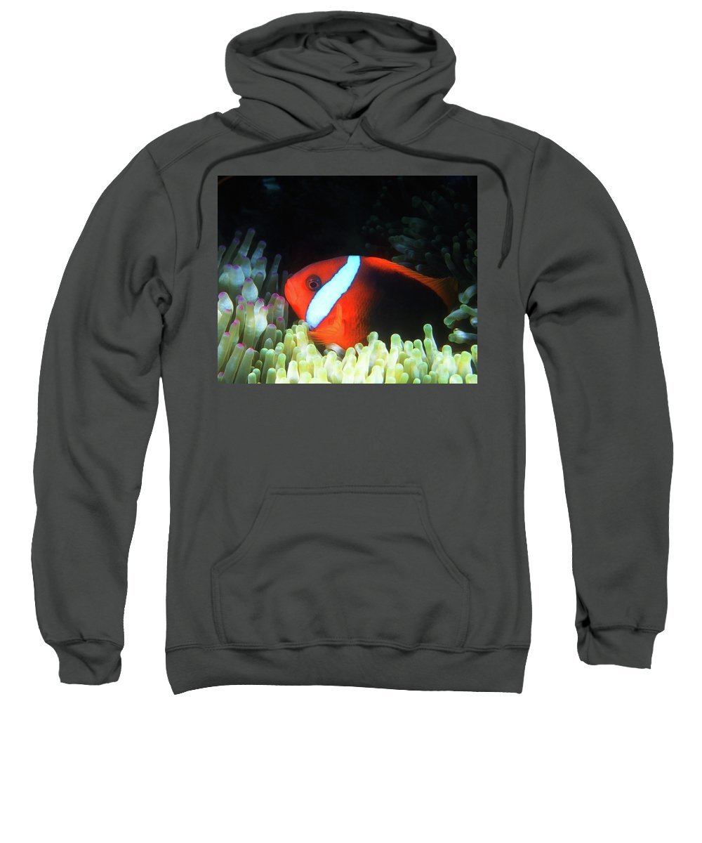 Red Black Anemonefish Sweatshirt featuring the photograph Red And Black Anemonefish, Great Barrier Reef by Pauline Walsh Jacobson