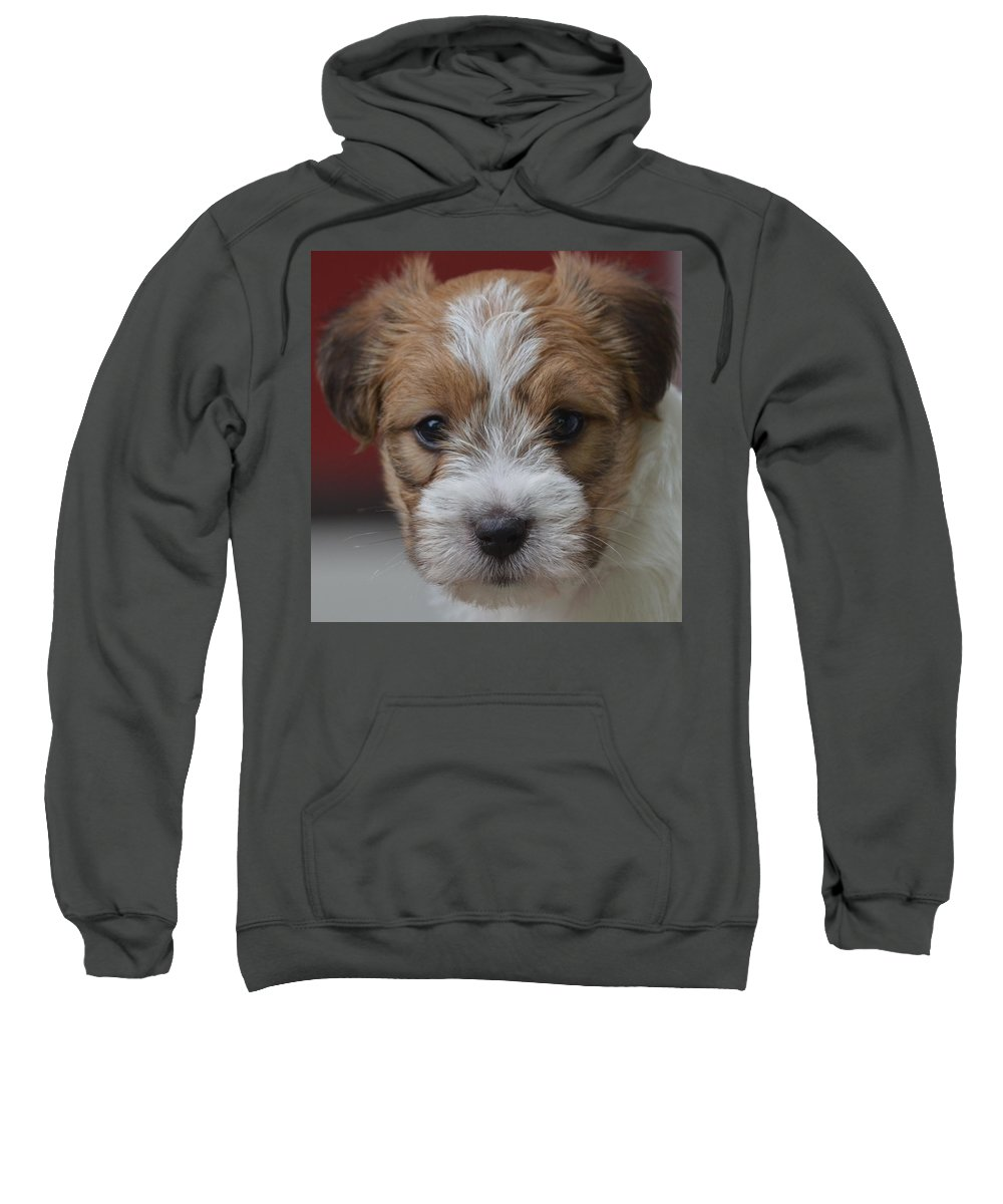 Jack Russell Terrier Sweatshirt featuring the photograph Rough Coat Jrt Pup by Candace Lundin