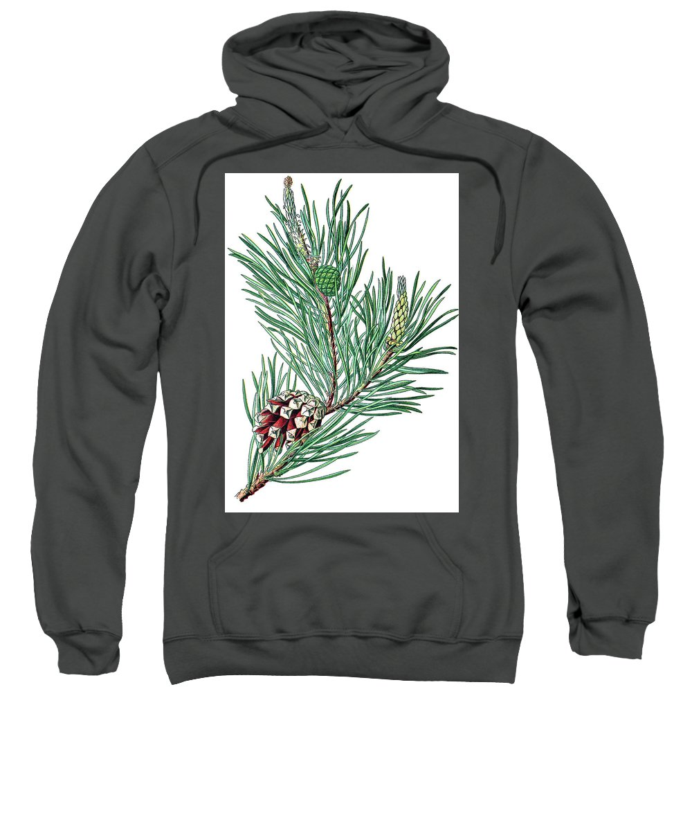 Scots Pine Sweatshirt featuring the drawing Scots Pine, Pinus Silvestris by Bildagentur-online