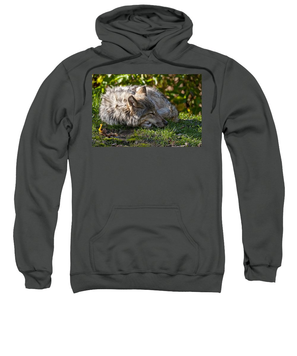 Michael Cummings Sweatshirt featuring the photograph Sleeping Timber Wolf by Michael Cummings