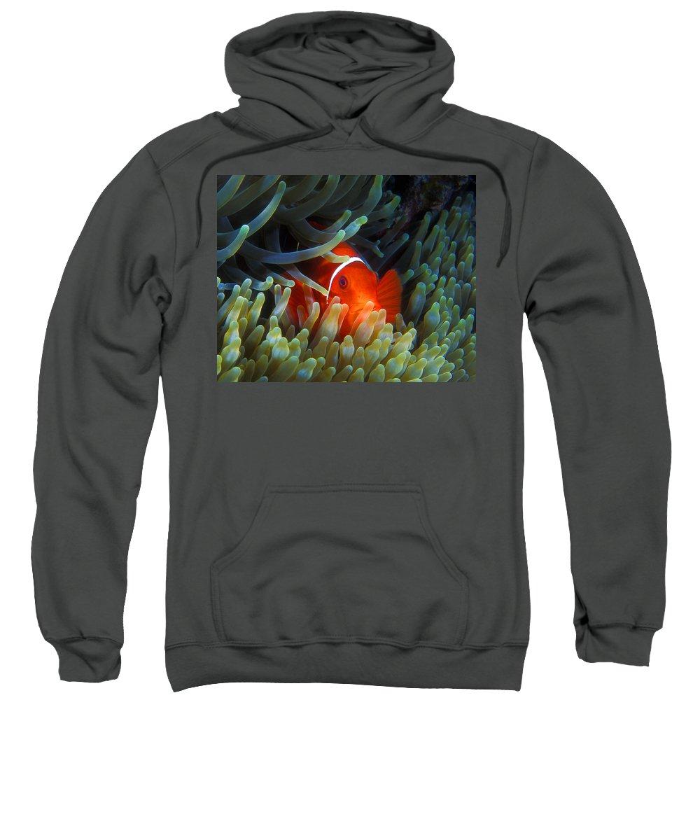 Spinecheek Anemonefish Sweatshirt featuring the photograph Spinecheek Anemonefish, Great Barrier Reef by Pauline Walsh Jacobson