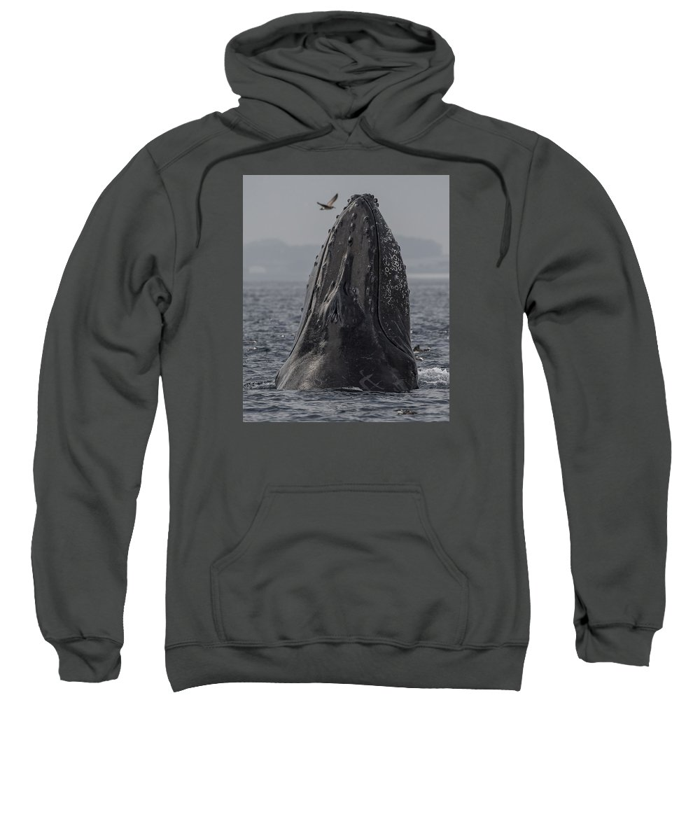 Anchovies Sweatshirt featuring the photograph Spyhopping Humpback Whale In Monterey Bay by Don Baccus
