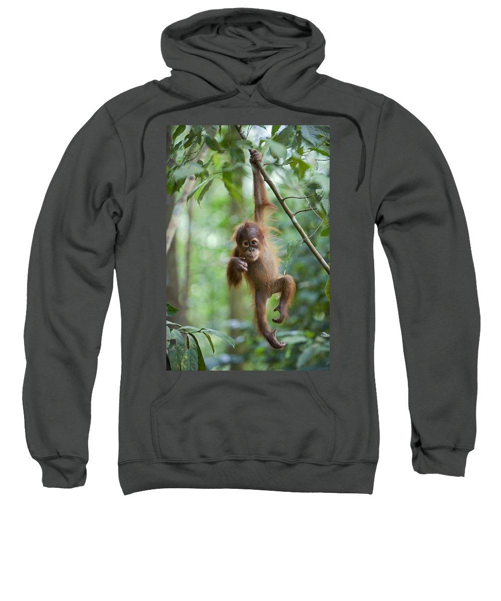 Mp Sweatshirt featuring the photograph Sumatran Orangutan Pongo Abelii One by Suzi Eszterhas