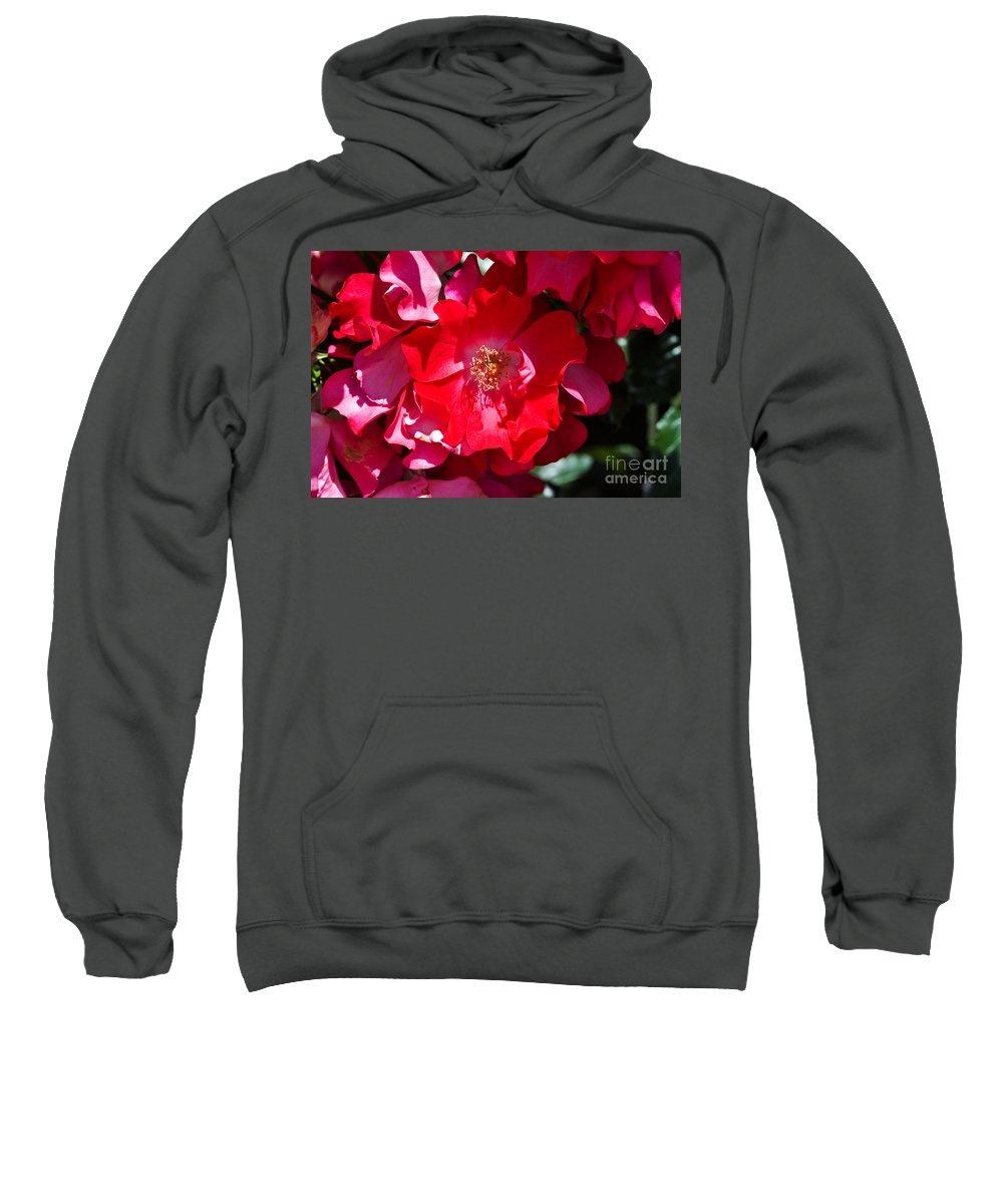 Rose Sweatshirt featuring the photograph Sunlit Blooms Of Dortmund Hybrid Scots Briar Rose by Louise Heusinkveld