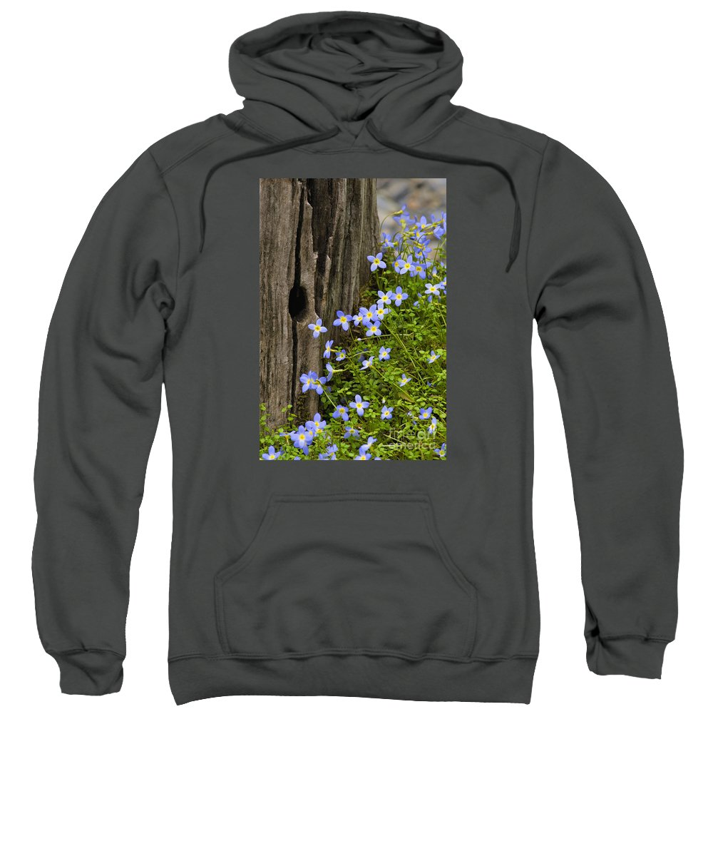 Houstonia. Serpyllifolia. Thyme-leaved Sweatshirt featuring the photograph Thyme-leaved Bluets - D008426 by Daniel Dempster