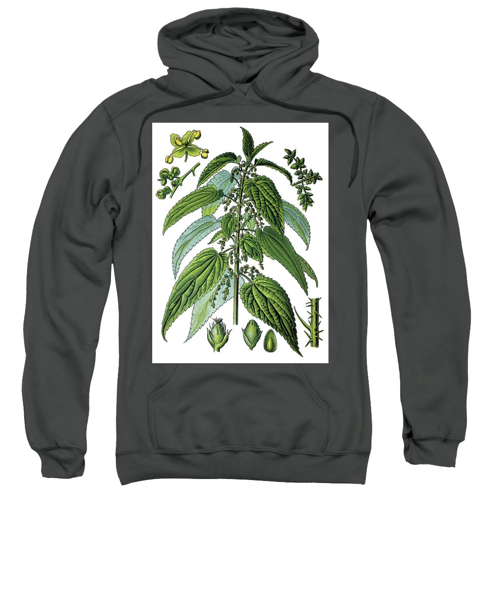 Urtica Dioica Sweatshirt featuring the drawing Urtica Dioica, Often Called Common Nettle Or Stinging Nettle by Bildagentur-online