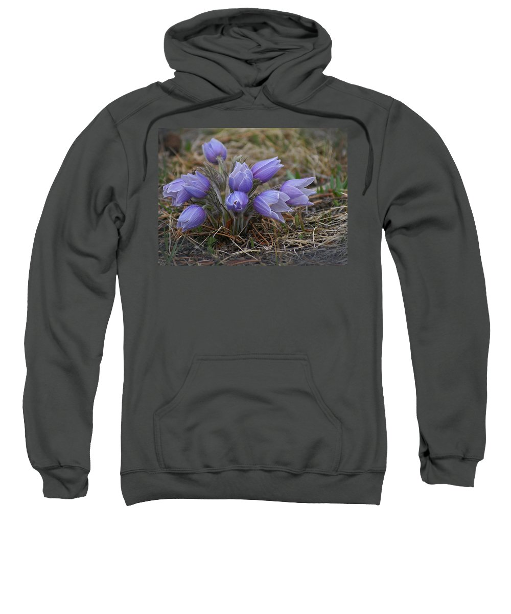 Pasque Flower Sweatshirt featuring the photograph Watercolor Pasque Flowers by Heather Coen