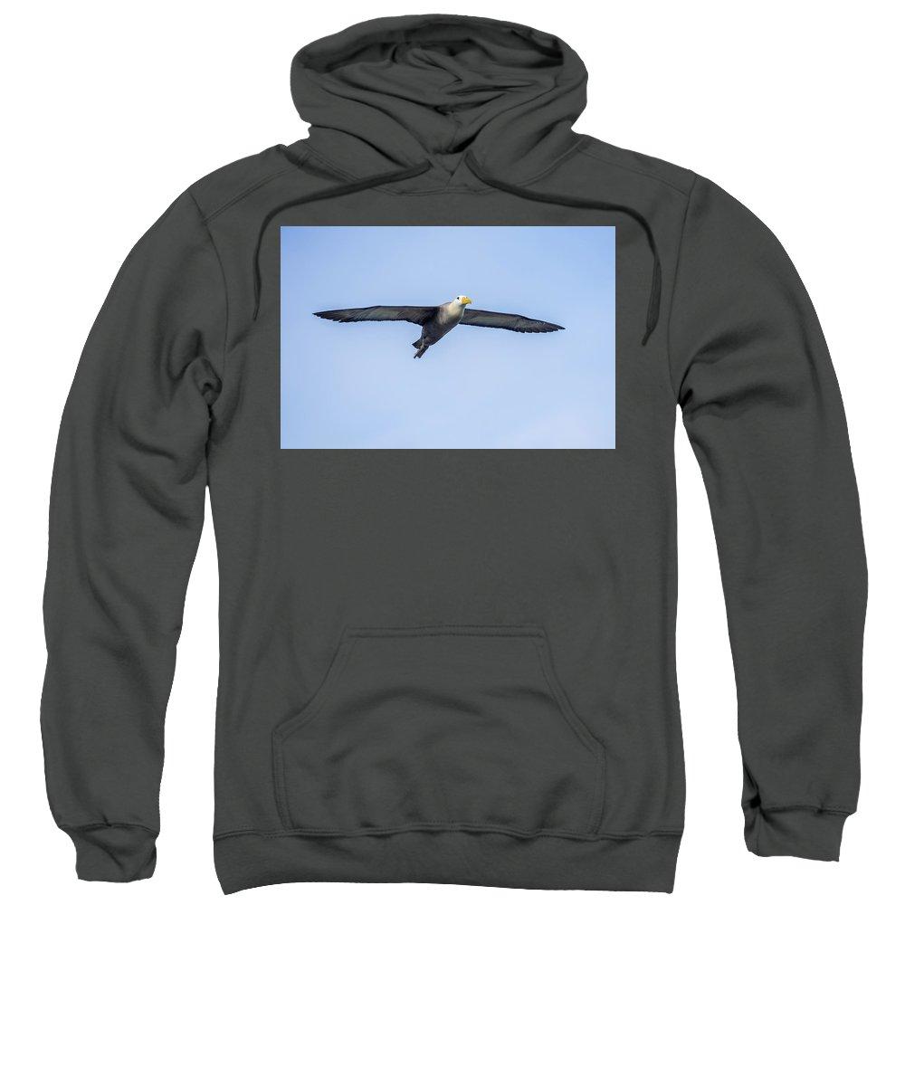 Ecuador Sweatshirt featuring the photograph Waved Albatross Flying In Galapagos by Marek Poplawski