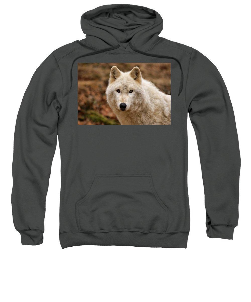 Wolf Sweatshirt featuring the photograph Wolf Watching by Sandy Keeton