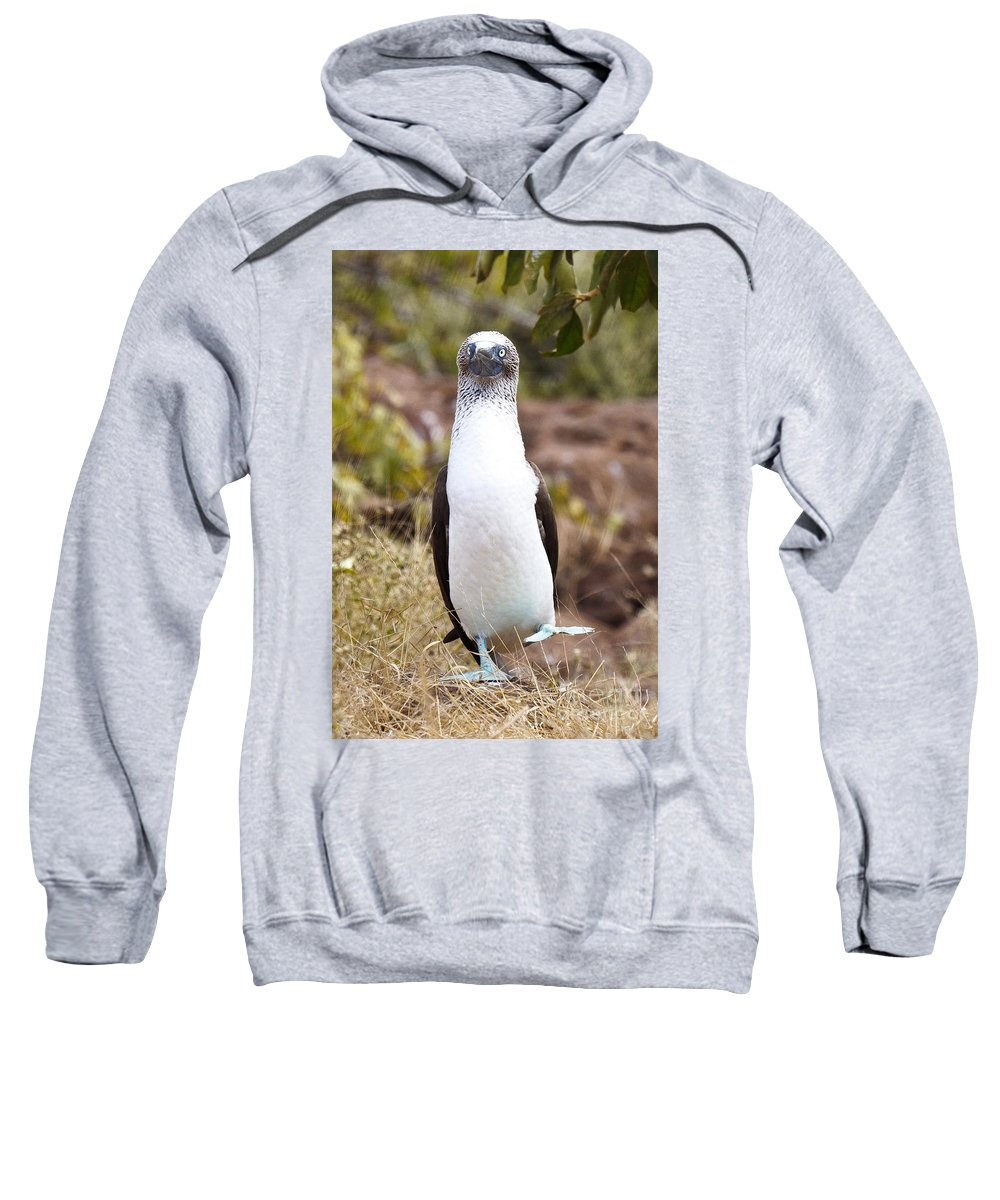 Blue-footed Boobie Sweatshirt featuring the photograph Blue Footed Boobie Dancing Galapagos by Jason O Watson