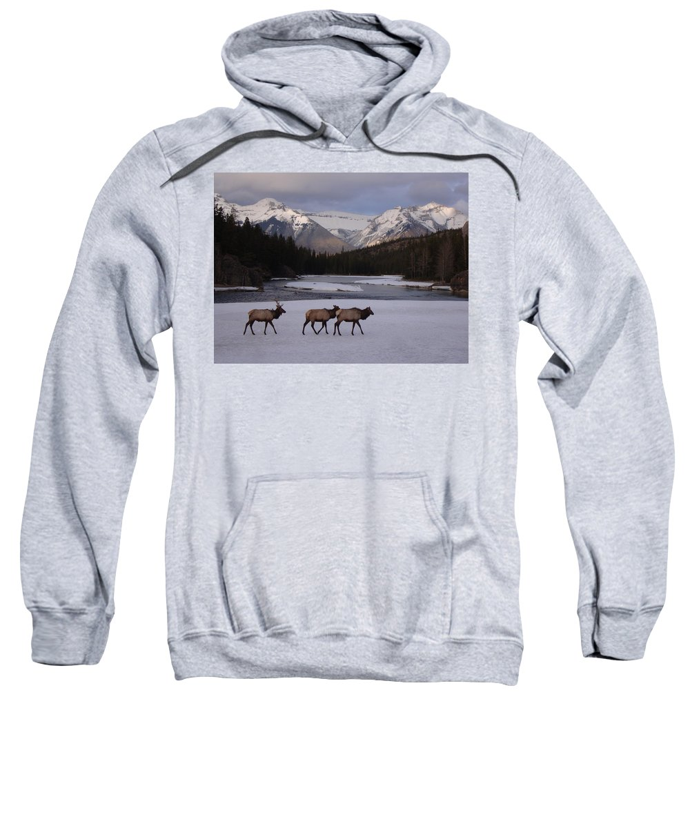 Elk Sweatshirt featuring the photograph Elk Crossing, Banff National Park, Alberta by Ian Mcadie
