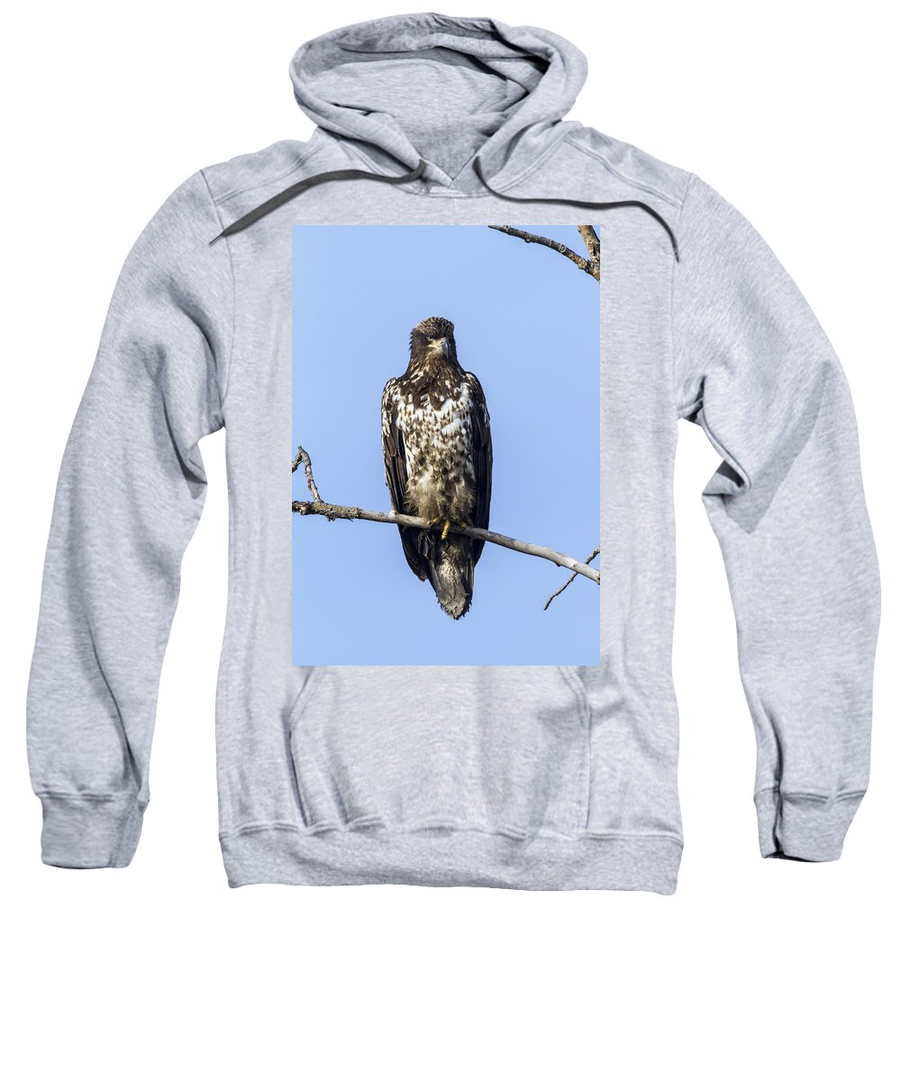 Doug Lloyd Sweatshirt featuring the photograph Juvenile Bald Eagle by Doug Lloyd