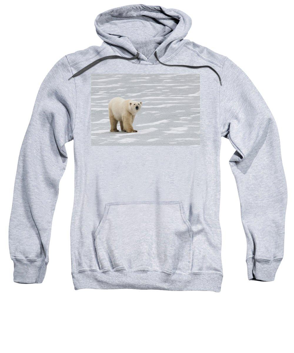 Bear Sweatshirt featuring the photograph A Polar Bear On Hudson Bay by Keith Levit