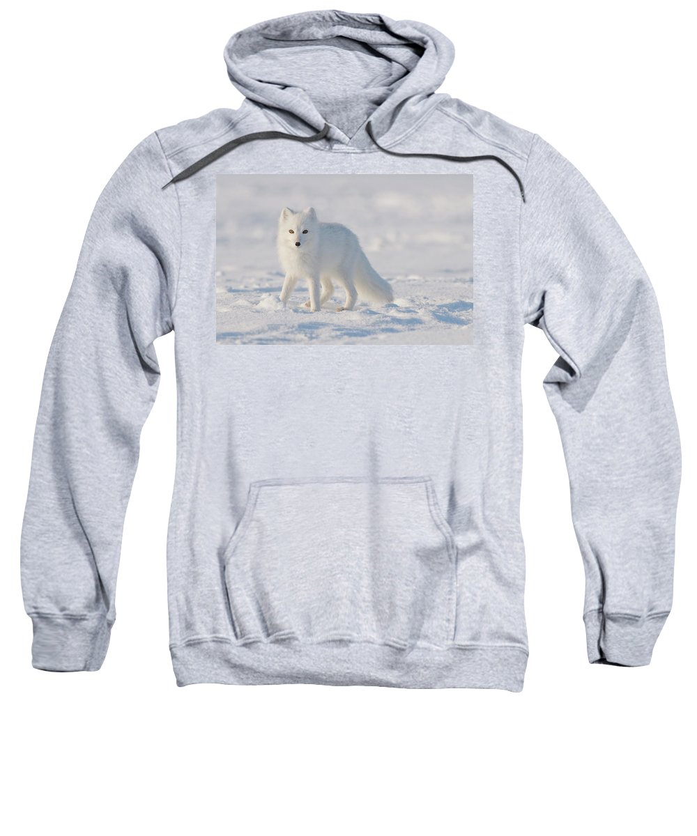 Adult Sweatshirt featuring the photograph Arctic Fox Out On The Pack Ice by Steven J. Kazlowski / GHG