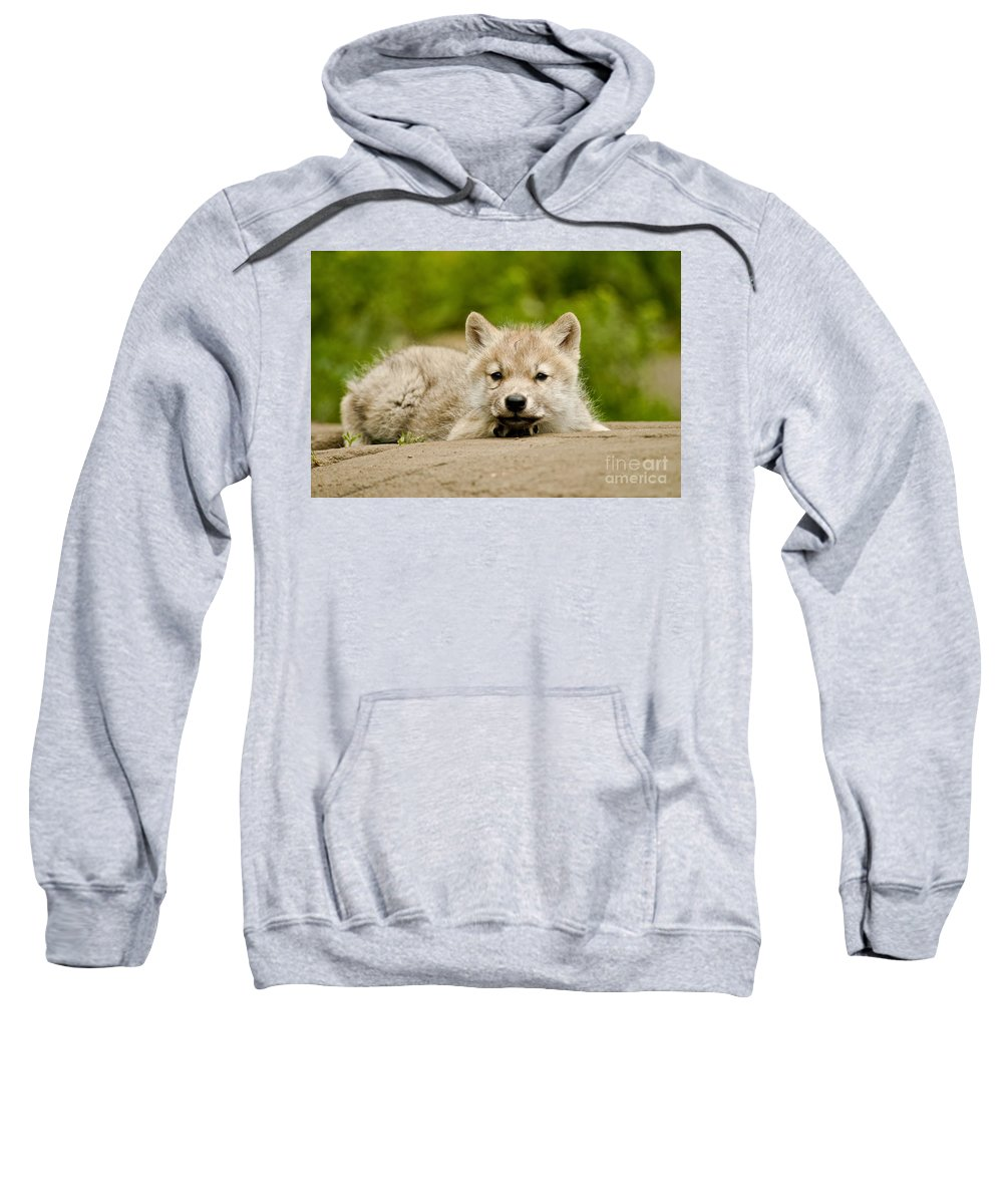 Arctic Wolf Sweatshirt featuring the photograph Arctic Wolf Pictures 1118 by World Wildlife Photography
