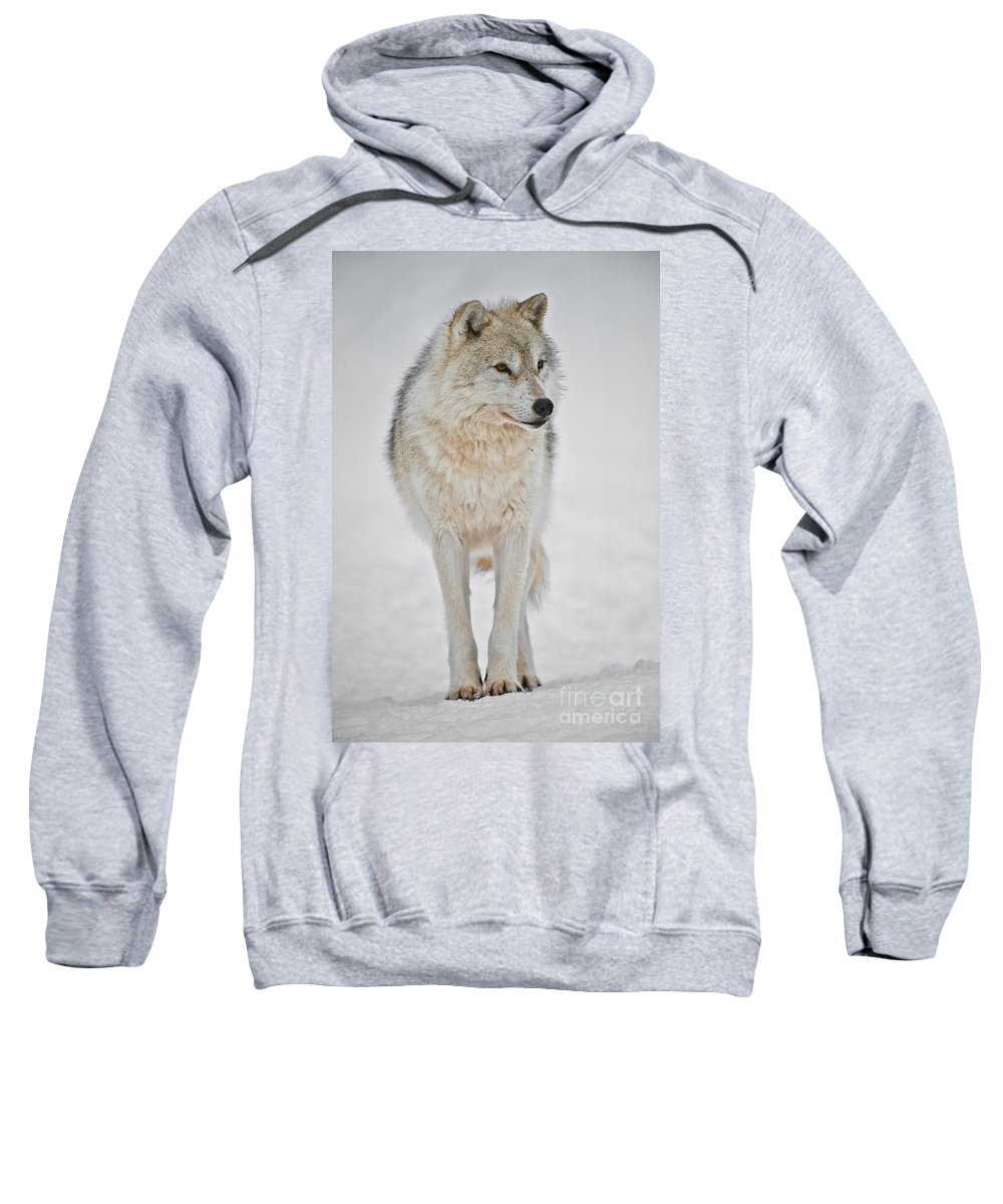 Arctic Wolf Sweatshirt featuring the photograph Arctic Wolf Pictures 1146 by World Wildlife Photography