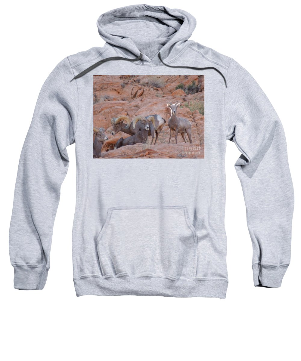 Big Horn Sheep Sweatshirt featuring the photograph Big Horn Group Pose by Donna Jackson