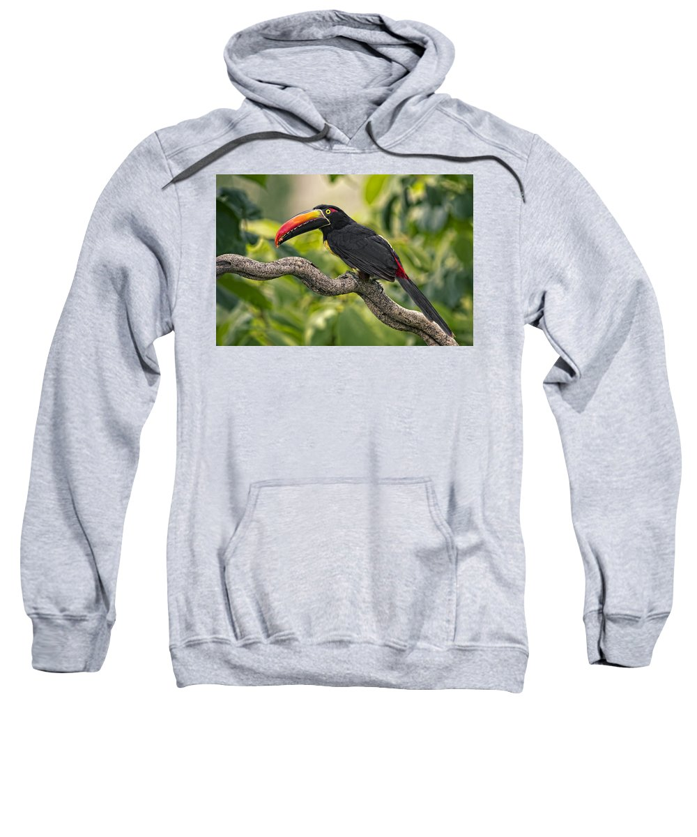 Bird Sweatshirt featuring the photograph Fiery Tailed Aracari Toucan Out On A Limb by Leslie Reagan - Joy To The Wild Photos