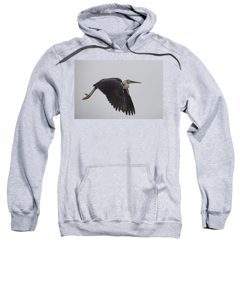 Flight Sweatshirt featuring the photograph Flight Of The White Necked Heron by Douglas Barnard