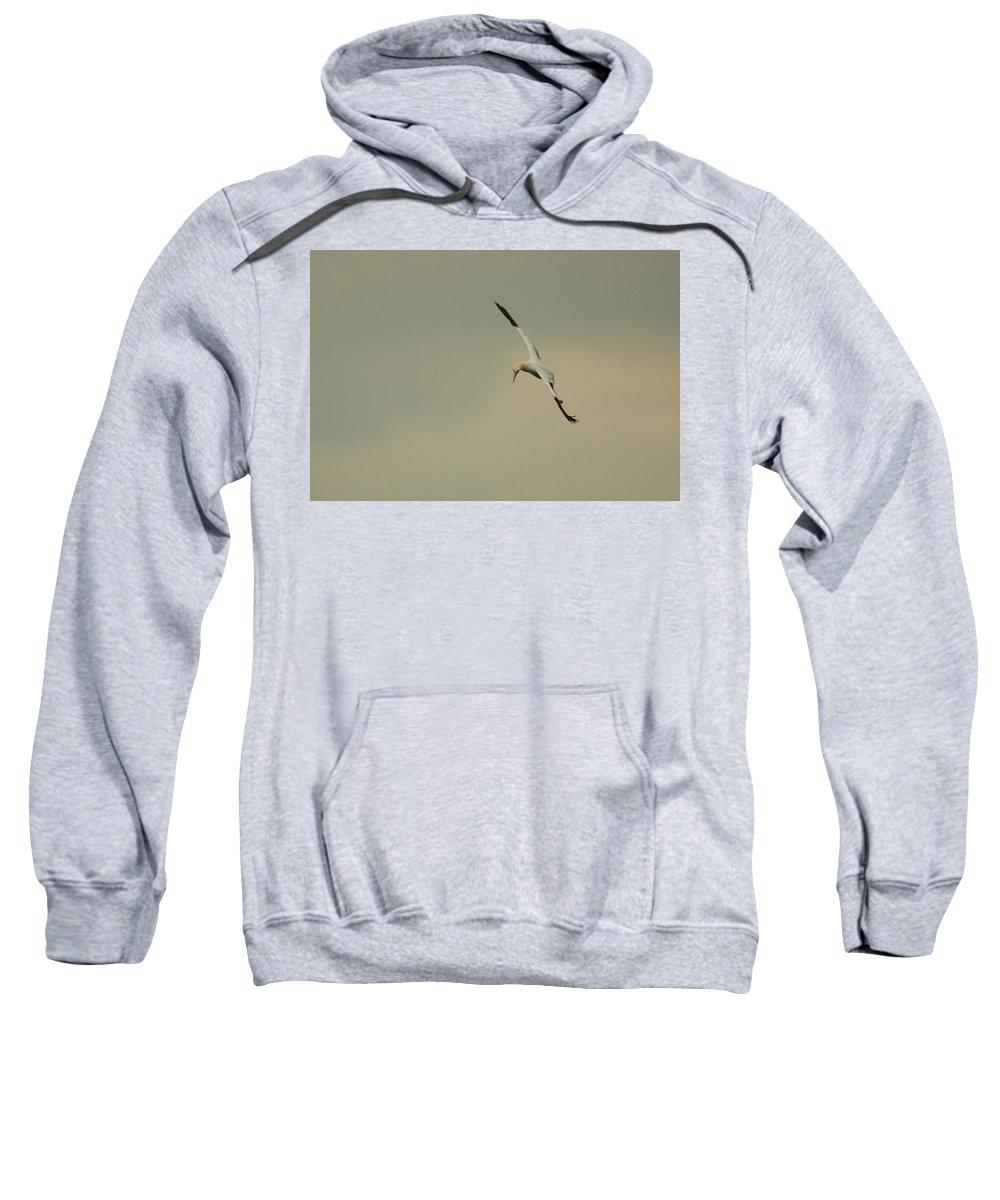 Northern Gannet Sweatshirt featuring the photograph Gannet by Sandy Swanson