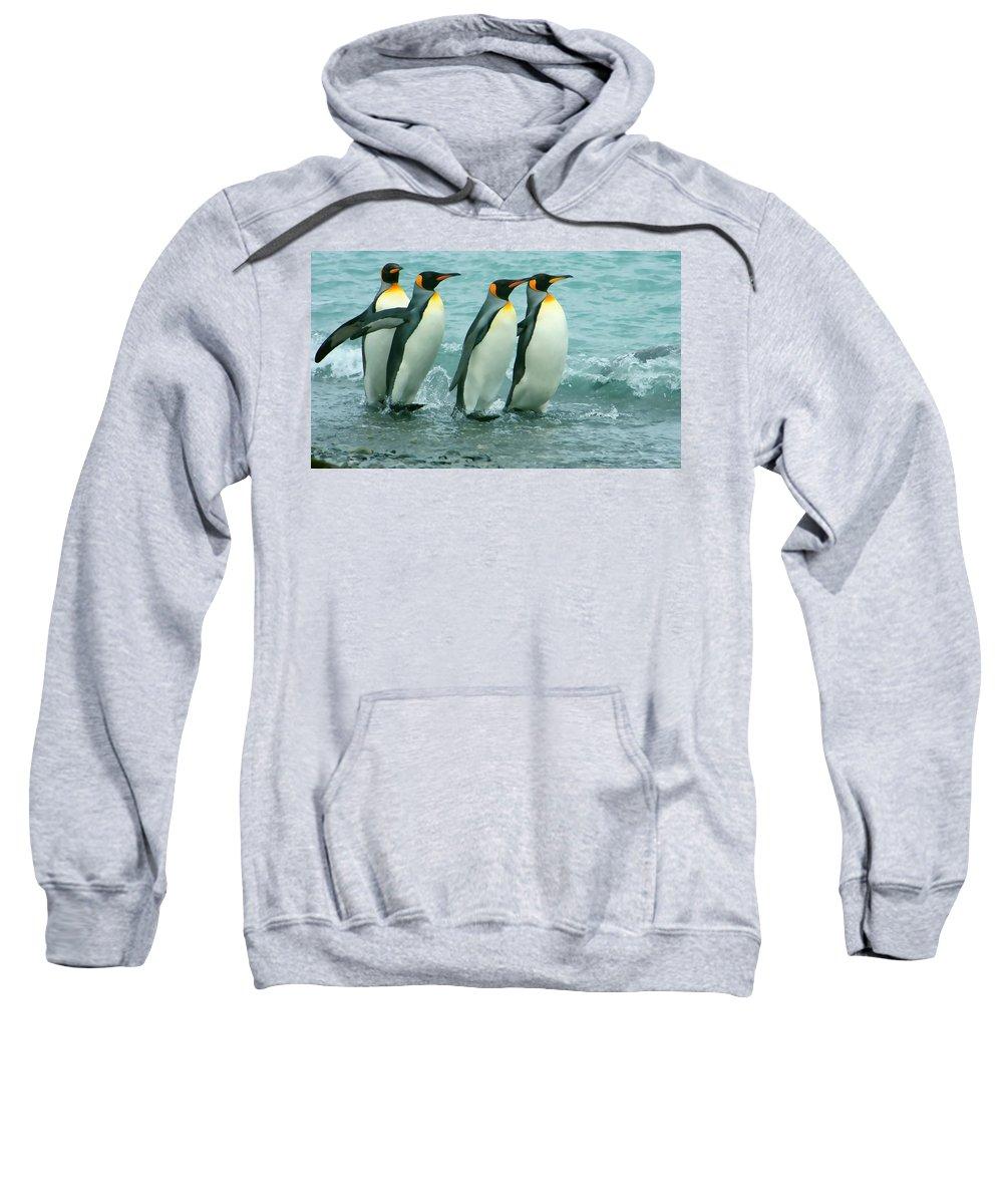 King Penguins Going To Sea Sweatshirt featuring the photograph King Penguins Going To Sea by Amanda Stadther