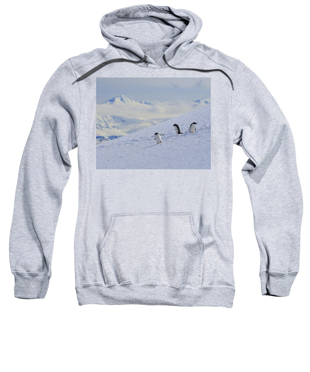 Gentoo Penguin Sweatshirt featuring the photograph Mountain Climbers by Tony Beck