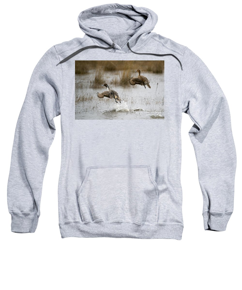 Northern Pintail Sweatshirt featuring the photograph Northern Pintail Flight by Mike Dawson