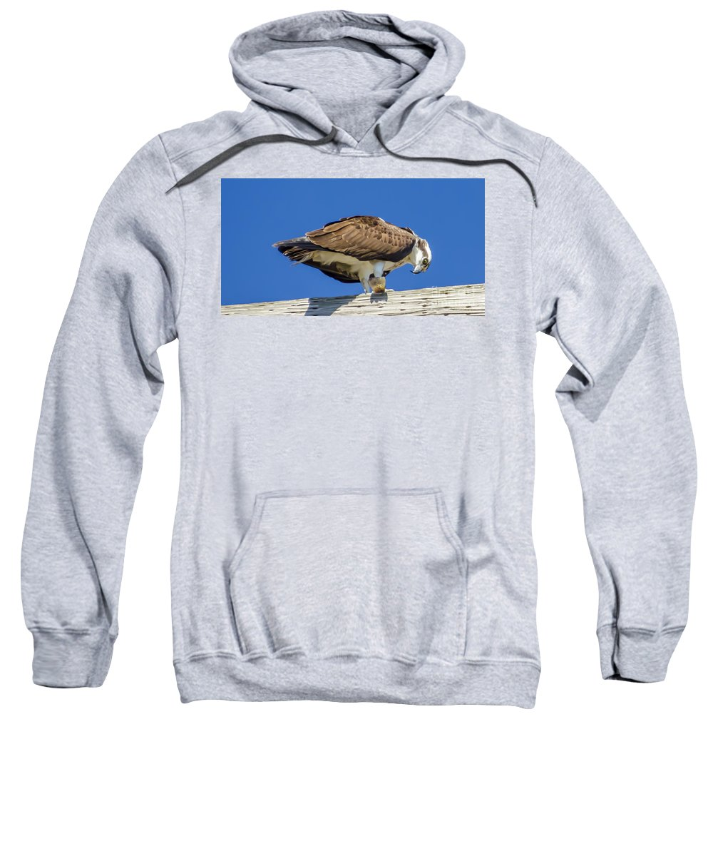 Osprey Eating Lunch Sweatshirt featuring the photograph Osprey Eating Lunch by Dale Powell