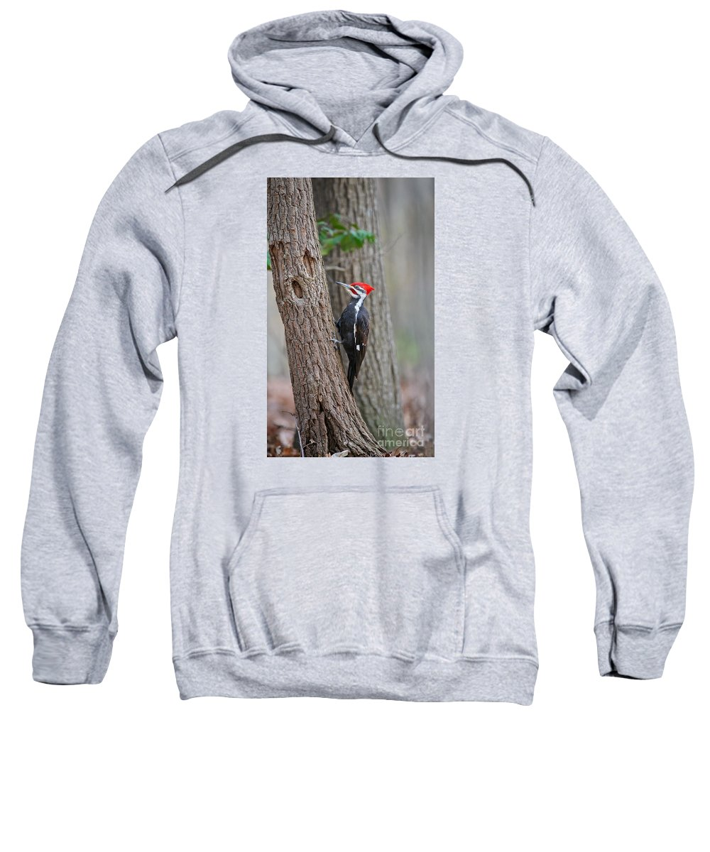 Pileated Sweatshirt featuring the photograph Pileated Woodpecker Foraging by Timothy Flanigan