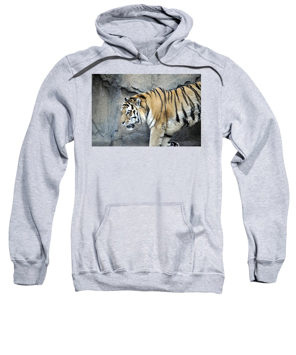 Pacing Sweatshirt featuring the photograph Siberian Tiger Panthera Tigris Altaica Usa by Sally Rockefeller