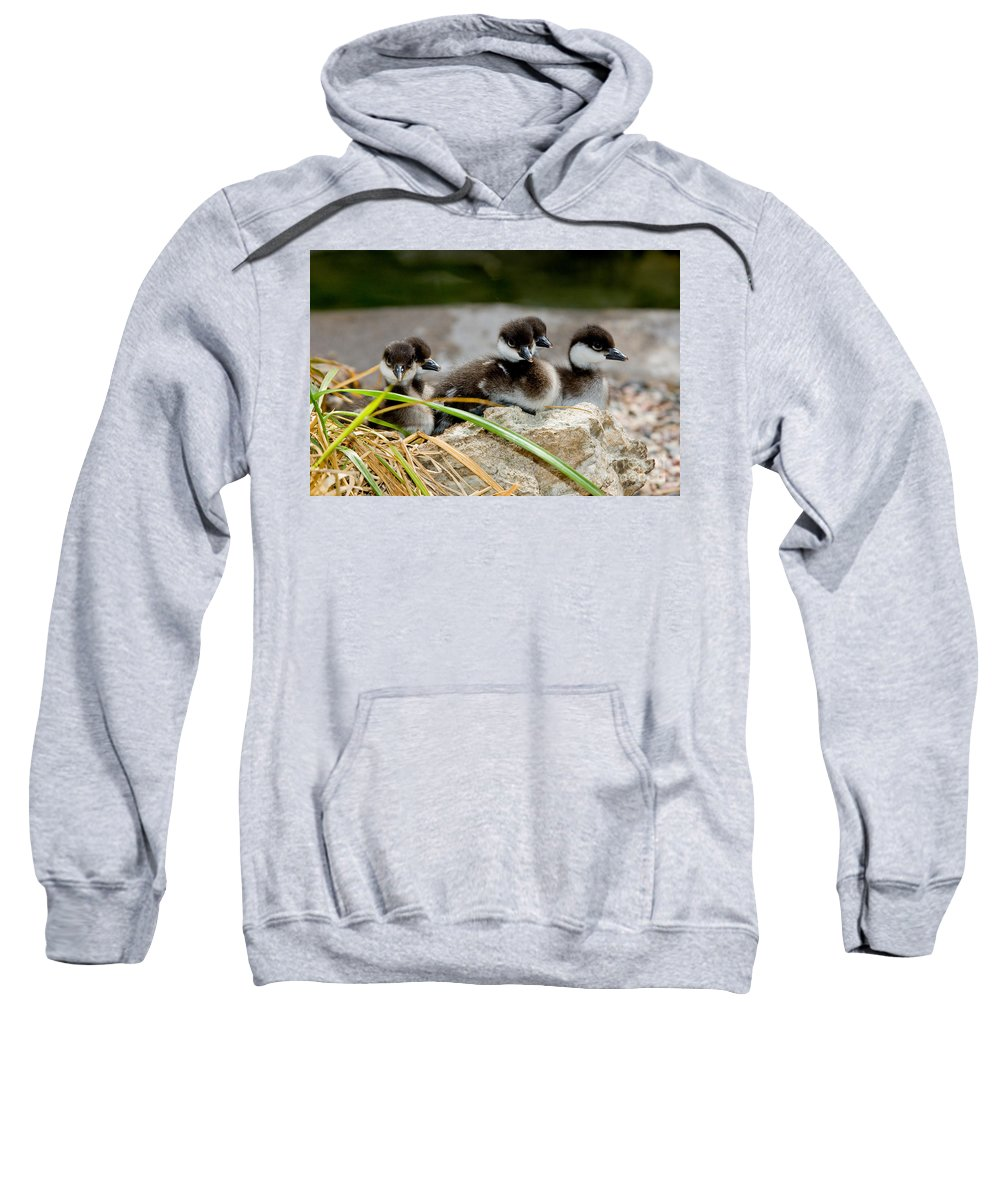 Fauna Sweatshirt featuring the photograph Smew Ducklings On Shore by Anthony Mercieca