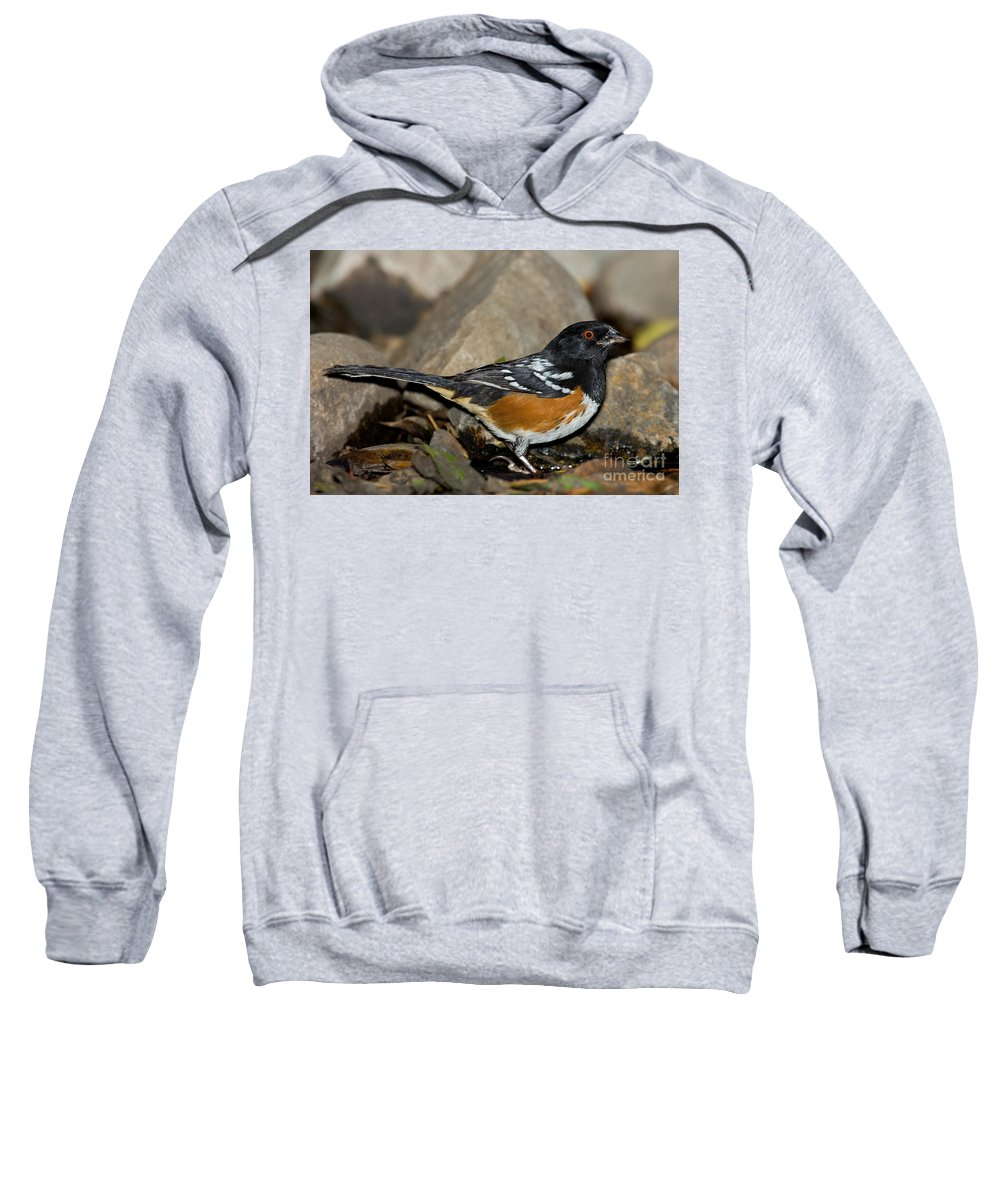 Spotted Towhee Sweatshirt featuring the photograph Spotted Towhee by Anthony Mercieca