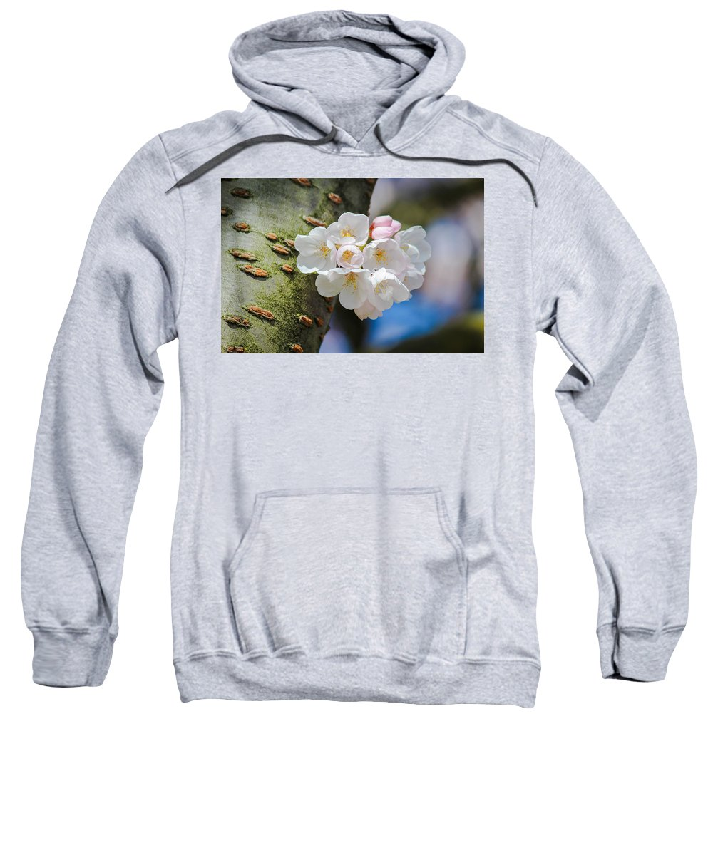 Cherry Blossoms Sweatshirt featuring the photograph Sprouting Cherry Blossoms by Patricia Babbitt