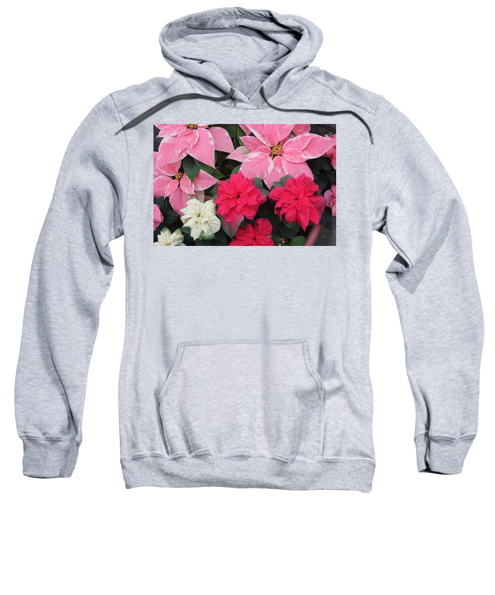 Poinsettia Sweatshirt featuring the photograph Three Pink Poinsettias by The Art of Alice Terrill
