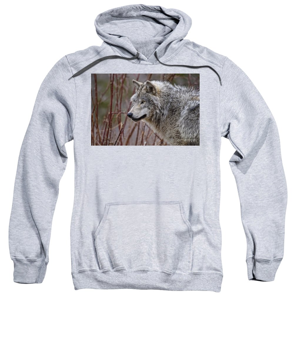 Timber Wolf Sweatshirt featuring the photograph Timber Wolf Pictures 197 by World Wildlife Photography