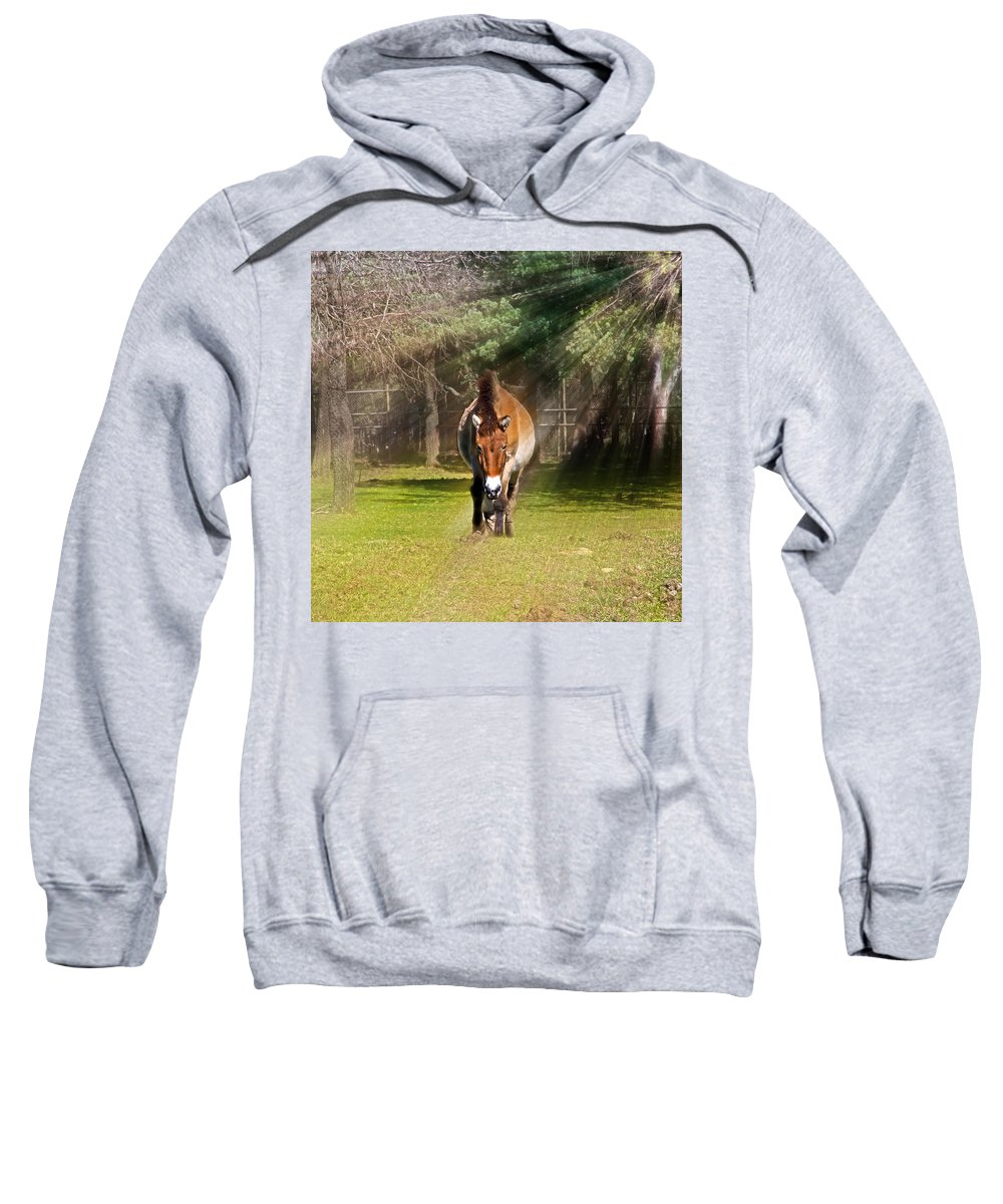 #przewalski's Horse Sweatshirt featuring the photograph Walking Towards Me In Sunrays by Miroslava Jurcik
