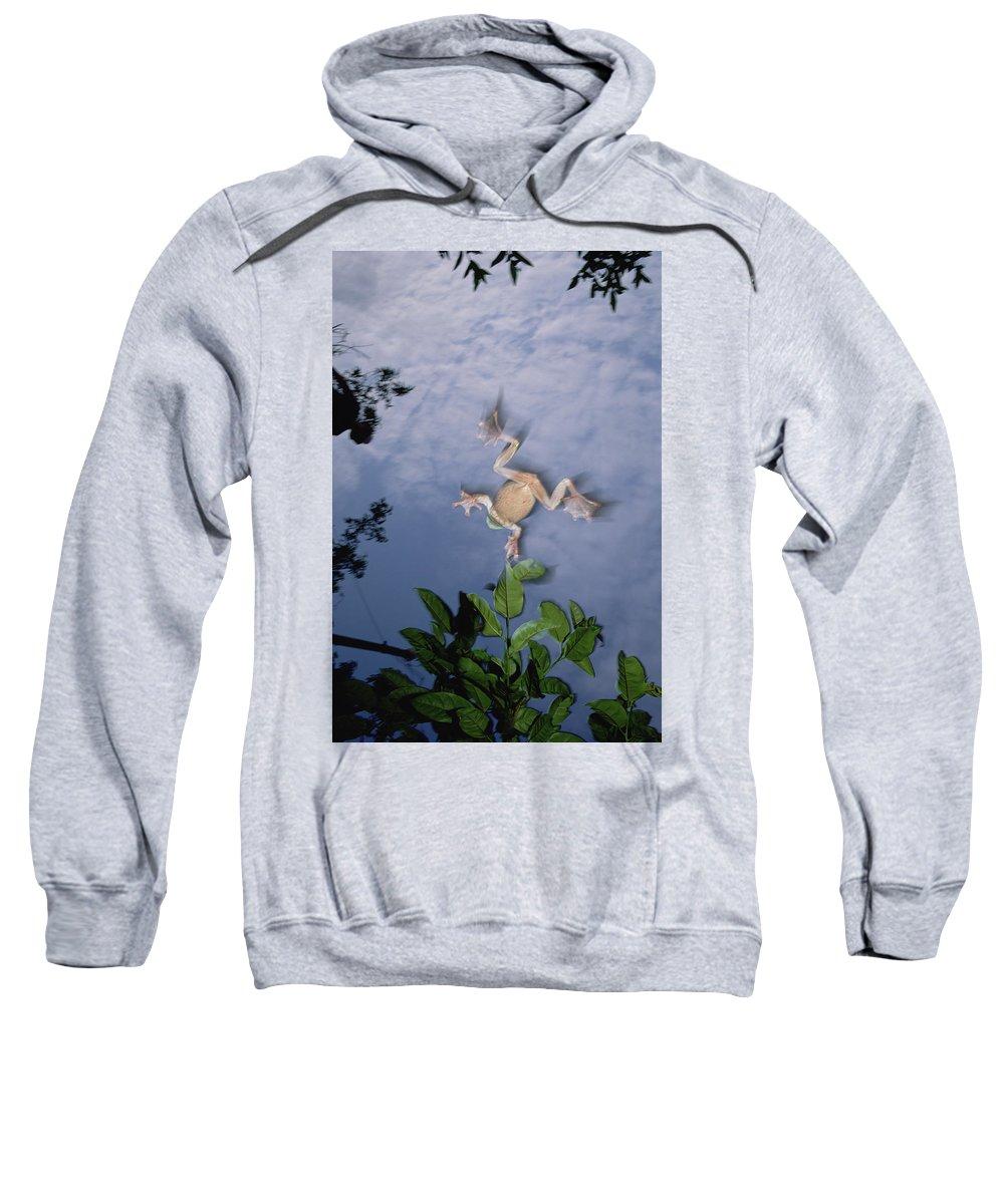 Mp Sweatshirt featuring the photograph Foam Nest Tree Frog Polypedates Dennysi by Mark Moffett
