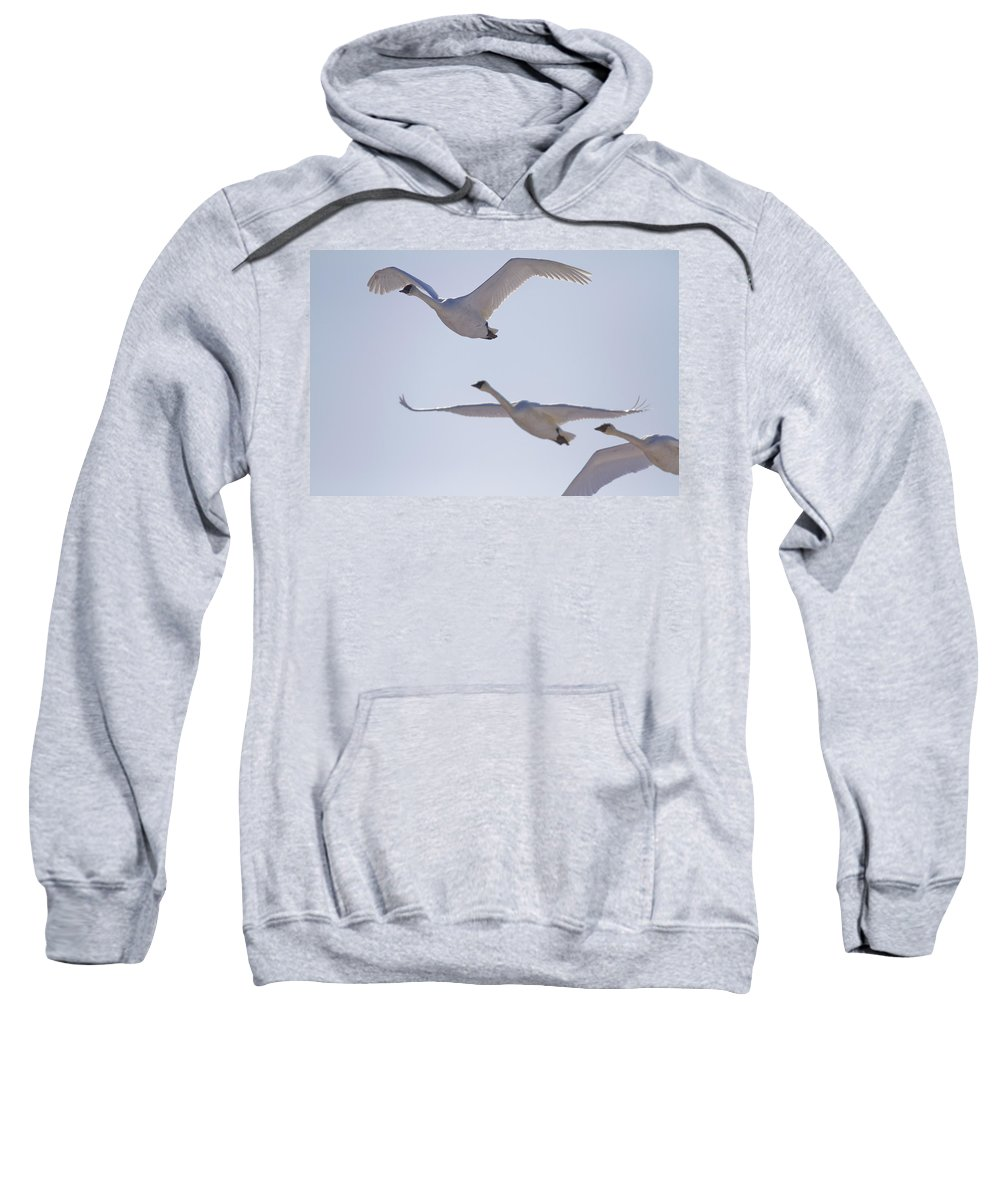 Light Sweatshirt featuring the photograph Swans Flying In Formation, Yukon by Robert Postma