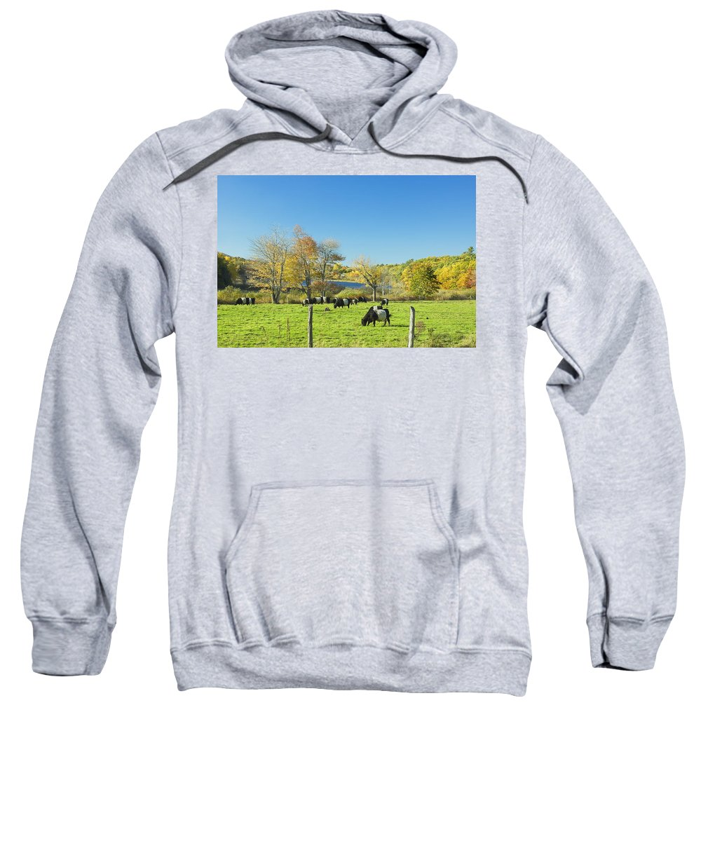 Cow Sweatshirt featuring the photograph Belted Galloway Cows Grazing On Grass In Rockport Farm Fall Main by Keith Webber Jr