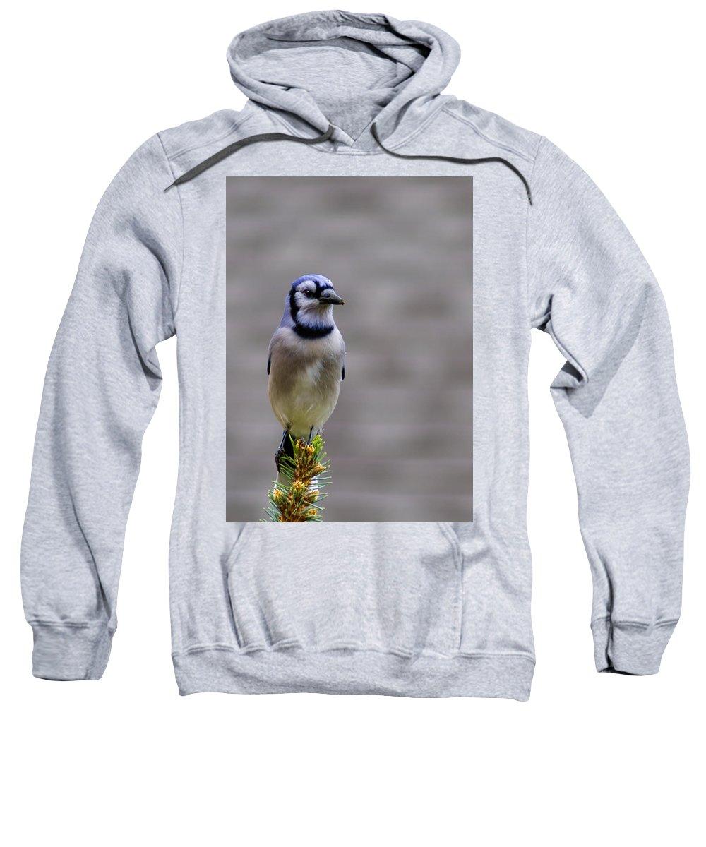 Blue Sweatshirt featuring the photograph Blue Jay In The Pine by LeeAnn McLaneGoetz McLaneGoetzStudioLLCcom