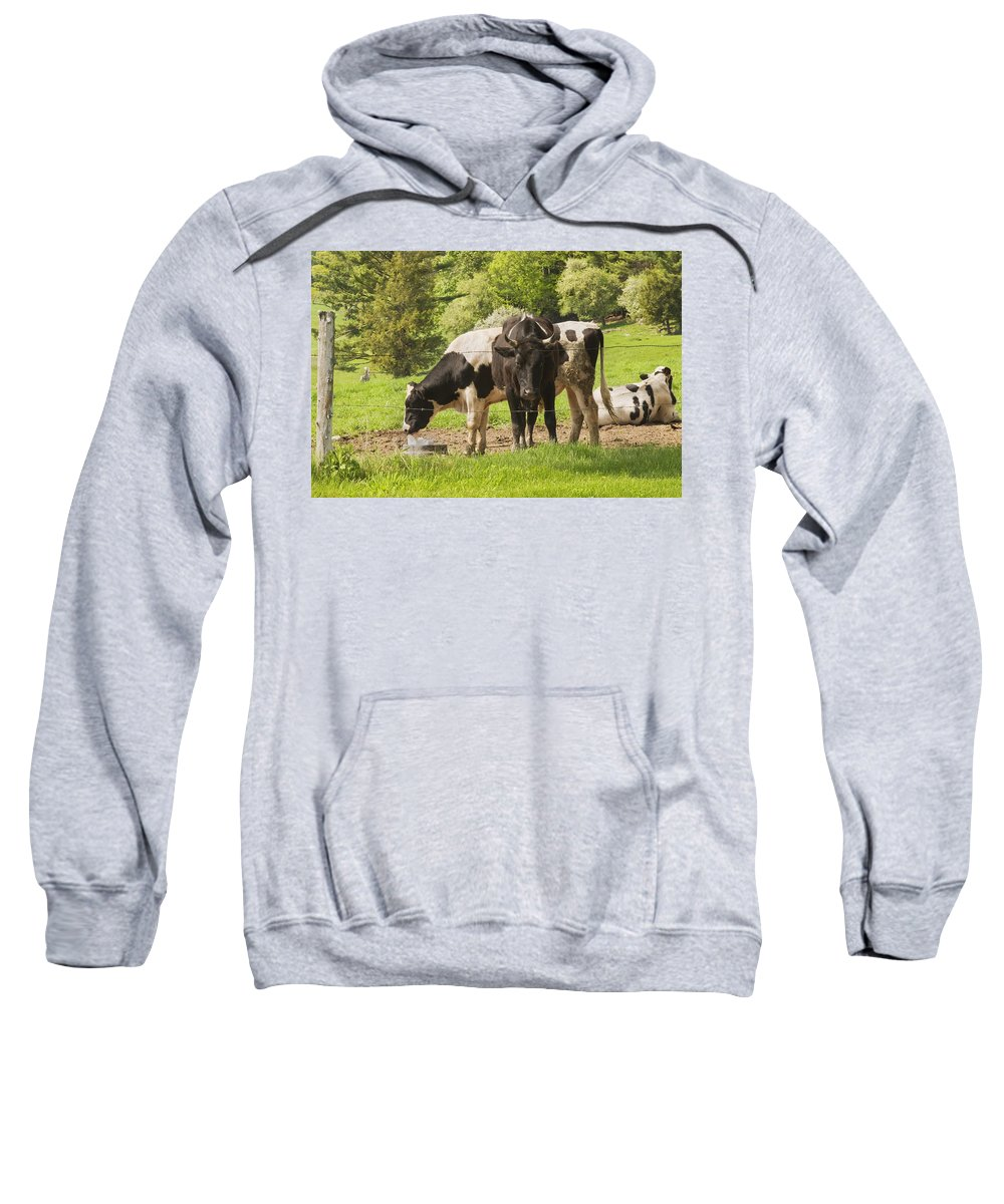 Cow Sweatshirt featuring the photograph Bull And Cows Grazing On Grass In Farm Maine by Keith Webber Jr